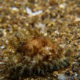 165--Anilao_Jul_2017-Cowrie.png
