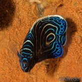 165--Anilao_Jul_2017-JuvenileEmperorAngelfish.png