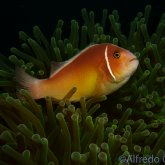 165--Anilao_Jul_2017-PinkAnemonefish.png