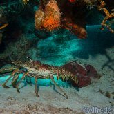 165--Cozumel_Aug_2017-CaribbeanSpinyLobster.png