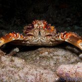 165--Cozumel_Aug_2017-ChannelClingingCrab.png