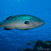 165--Cozumel_Aug_2017-grouper.png