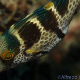 165--Puerto_Galera_June_2017-CrownTobyPufferfish.png
