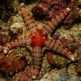 165--Puerto_Galera_June_2017-UnusualSeaStar.png