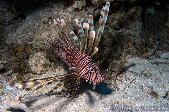 640--Cozumel_Aug_2017-Lionfish.png