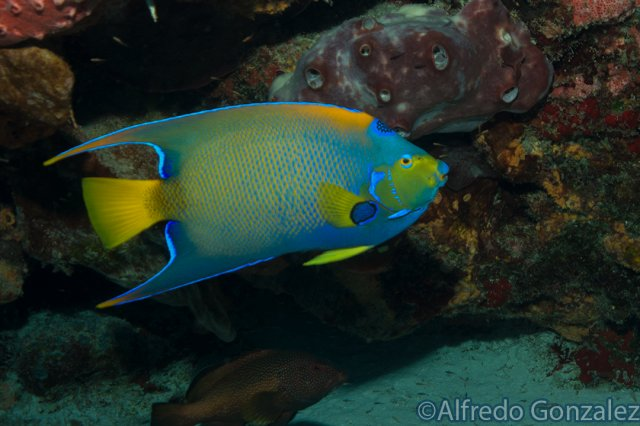 640--Cozumel_Aug_2017-QueenAngelfish.png
