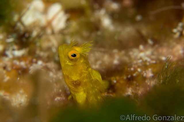 640--Cozumel_Aug_2017-RoughHeadBlenny.png