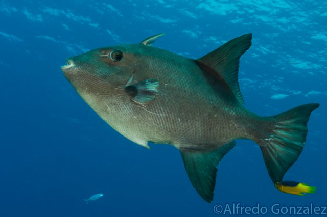 640--Cozumel_Aug_2017-Triggerfish.png