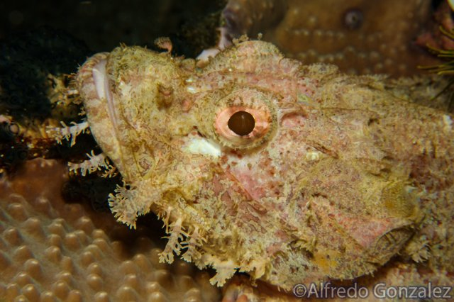 640--Puerto_Galera_June_2017-TasseledScorpionfishLight.png