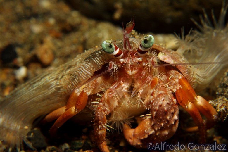 780--Anilao_Jul_2017-AnemoneHermitCrab-Left-Handed.png