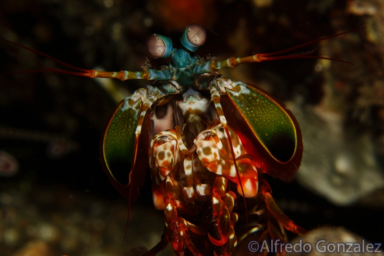 780--Anilao_Jul_2017-PeacockMantisShrimp2.png