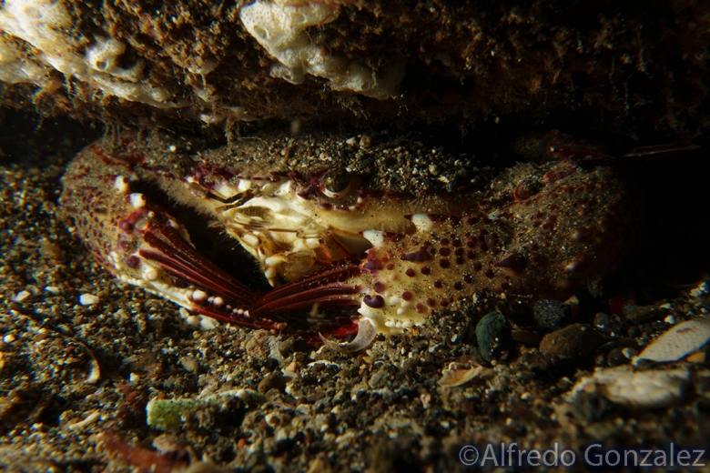 780--Anilao_Jul_2017-SwimmingCrab.png