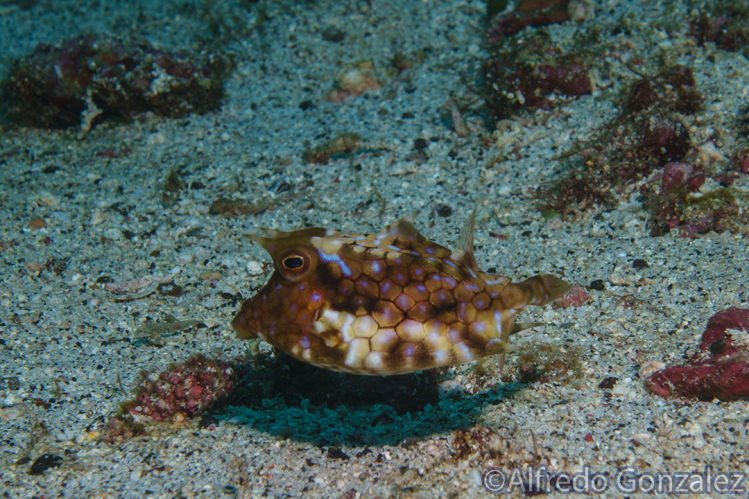 ThornbackCowfish.png
